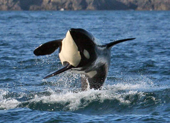 An Orca chasing its dinner